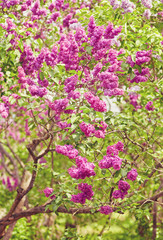 Lilac blooms. A beautiful bunch of lilac closeup. Green branch with spring flowers.