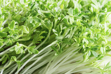 Cress-salad sprouts. Fresh green herbs. Healthy food.
