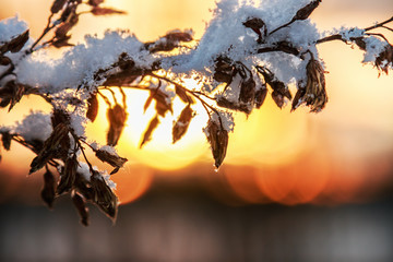 branch plants with the fallen snow in the winter forest at sunset