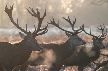 Deer stags walk in the early morning light in Richmond Park in south west London