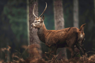 Red deer with pointed antlers in autumn forest. Side view. North Rhine-Westphalia, Germany
