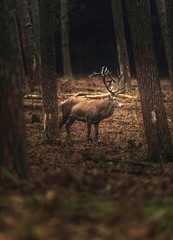 Solitary red deer stag in autumn forest. North Rhine-Westphalia, Germany