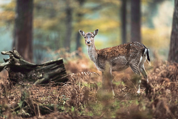 Young fallow deer in autumn ferns in forest. North Rhine-Westphalia, Germany