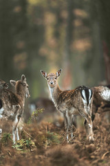 Group of young fallow deer in autumn forest. North Rhine-Westphalia, Germany