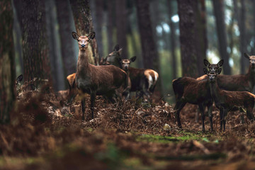 Group of red deer hinds in autumn pine forest. North Rhine-Westphalia, Germany