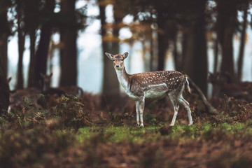 Fallow deer in autumn forest. North Rhine-Westphalia, Germany