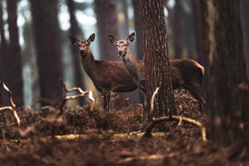 Two red deer hinds in autumn pine forest. North Rhine-Westphalia, Germany