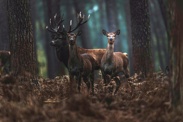 Red deer hind and stag in autumn forest. North Rhine-Westphalia, Germany