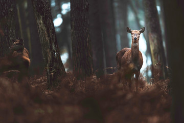 Red deer hind in autumn forest. North Rhine-Westphalia, Germany