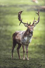 Single fallow deer buck standing in meadow. North Rhine-Westphalia, Germany