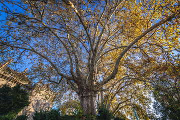 Branchy plane tree on the square next to Dukes of Braganza Palace in Guimaraes city, Norte region of Portugal