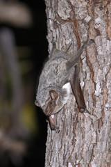 Mauritianischer Grabflatterer (Taphozous mauritianus) - Fledermaus auf Madagaskar