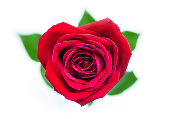 Beautiful red rose in the shape of heart for Valentine's Day Isolated on white background