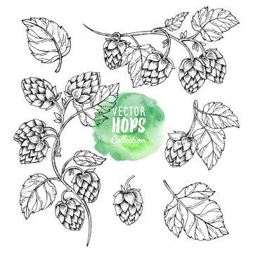 Sketches of hop plant. Hops vector set. Humulus lupulus illustration for packing, pattern, beer illustration.