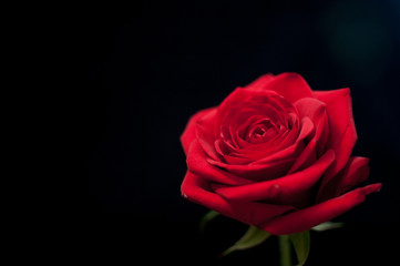 A single red rose highlighted against a black background