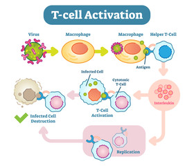 T-Cell activation diagram, vector scheme illustration.