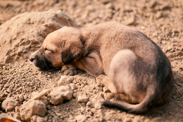 Cute sleeping puppy of Indian domestic dog (Indian pariah dog) in the sun.