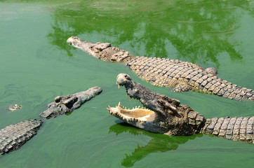 Crocodile (alligator-like reptile) on dark water surface.