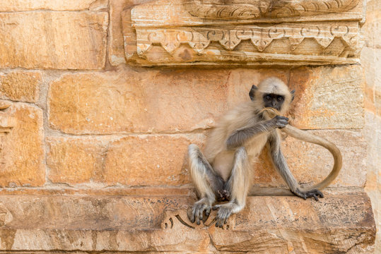 Young Hanuman Langur on the wall of a Temple in Chittorgarh, Rajasthan