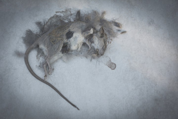Dead rat, mouse on floor. Dead rat on a ground.