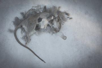 Dead rat, mouse on floor. Dead rat on a ground.