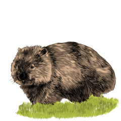 fluffy wombat sitting in the grass sketch vector graphics color picture