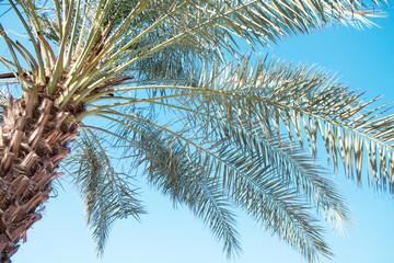 Desert palm against the blue sky, summer, beach vacation. United Arab Emirates.