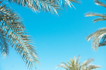 Desert palm against the blue sky, summer, beach vacation. United Arab Emirates. Space for your text.