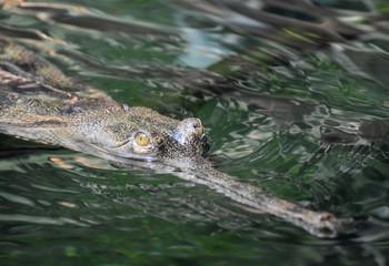 Face of Yellow Eyes on a Gavial Crocodile