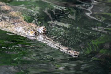 Long Thin Gavial Crocodile Swimming in a River