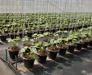 Organic melon plant