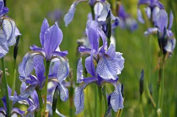 Sibirische Schwertlilien, Iris sibirica