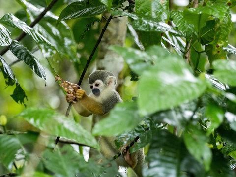 Saimiri sciureus, Common squirrel monkey, is relatively abundant, River Napo, Yasuni National Park, Ecuador