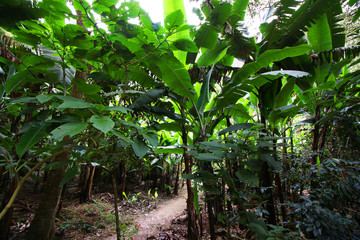 Jungle Climate Change Green Energy Wild Banana Tree Forest Nature