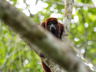 Red Howler Monkey, Alouatta Seniculus, Amazon River Napo, Yasuni National Park, Ecuador