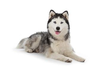 chien husky sibérien femelle adulte yeux bleus sur fond blanc détouré