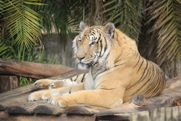 So tiger