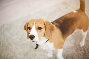Beagle dog walk in apartment carpet
