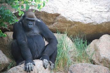 Gorilla in Rocks