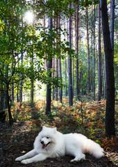 White dog samoyed in the summer forest