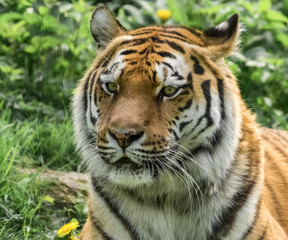 Porträt sibirischer Tiger
