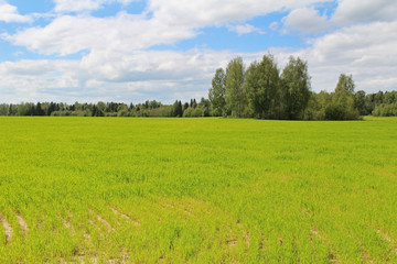 Field of green grass and blue sky in summer day. Forest edge.