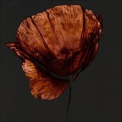 Close-up of solarized poppy flower