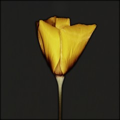 Close-up of solarized yellow poppy flower