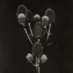Close-up of solarized thistle plant