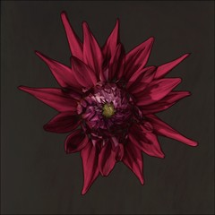 Close-up of solarized dahlia flower