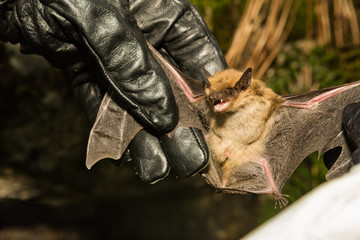 A wildlife biologist checking the wings of a Big Brown Bat for signs of White-nose Syndrome.