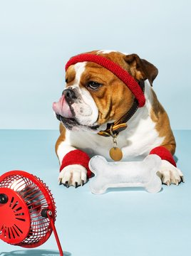 Bulldog wearing sweatband with ice bone sitting in front of fan