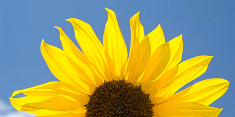 Sunflower Against the Sky