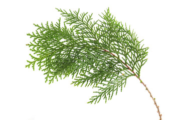 a twig of cypress on a white background